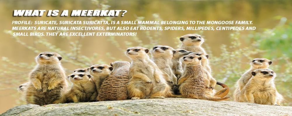 Meerkat Pest Control   What is a Meerkat?