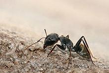220px-Camponotus_sp._ant.jpg