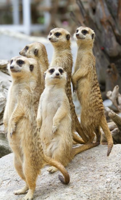 meerkat-small-pic.png