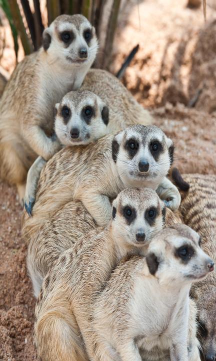 meerkats-bunched.png